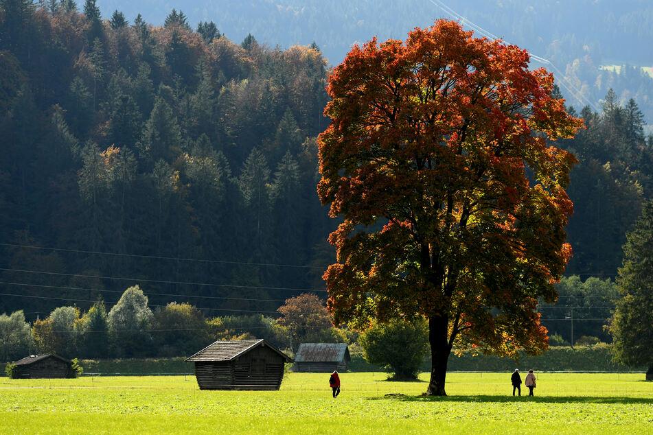 Spaziergänger gehen an einem herbstlich gefärbten Laubbaum vorbei. Das Wetter bleibt in Deutschland kommende Woche herbstlich.