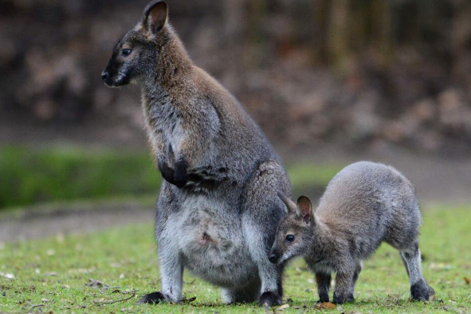 In freier Wildbahn leben Bennett-Kängurus (Archivbild) in den Küstenregionen des östlichen und südöstlichen Australiens.