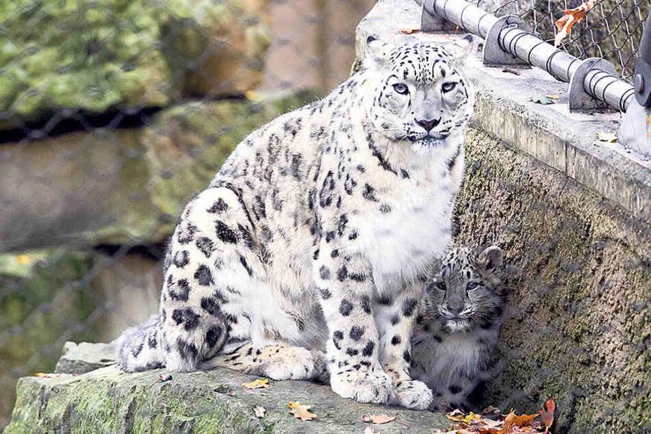 Schneeleoparden-Mama Istari versteckt ihren Nachwuchs