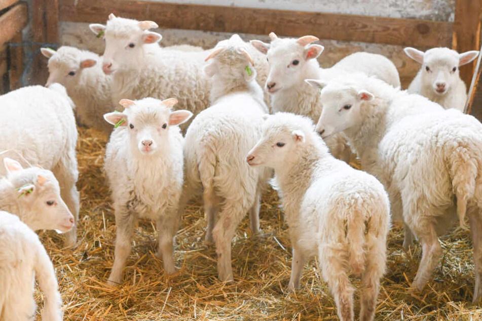 Diesen süßen Osterlämmern bleibt der Kochtopf (noch) erspart: Bei Drutschmanns werden für derzeit nur Tiere aus dem Vorjahr geschlachtet.