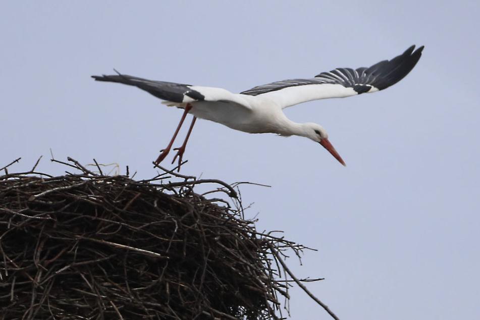 Der Wittgensdorfer Storch ist zurück und baut schon fleißig am Nest.