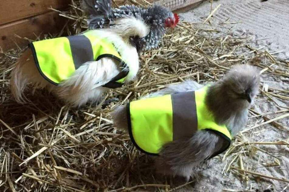 Als Schutz vor Krähen sollen die Hühner jetzt Warnwesten tragen.