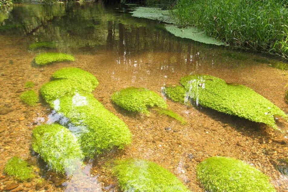 In der Kirnitzsch gedeiht der Wasserstern - er kommt recht häufig in Sachsens Flüssen vor.