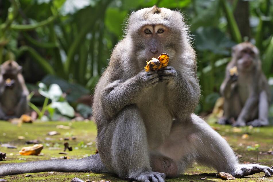 Makaken fressen Bananen während der Fütterungszeit im Sangeh Monkey Forest. Am liebsten lassen sich die Tiere von Touristen füttern.