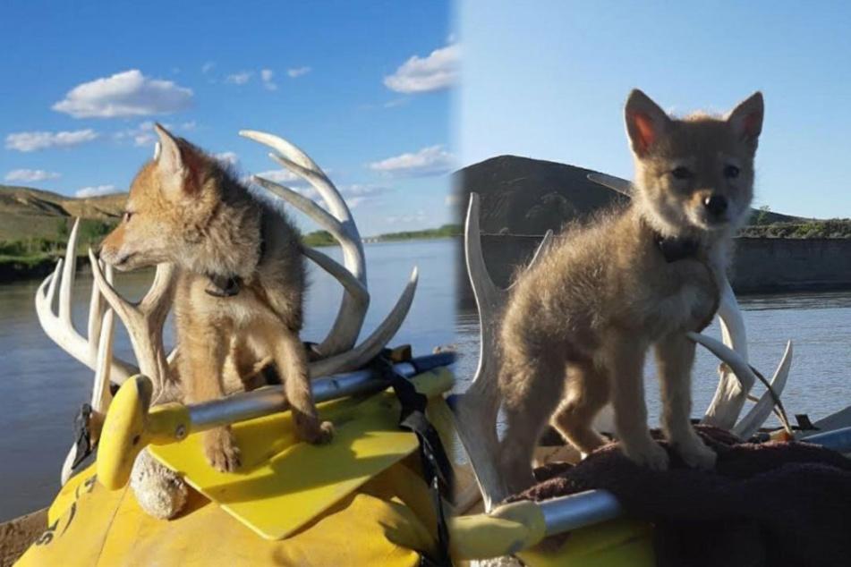 Leben gerettet! Mann verbringt zehn Tage mit Kojoten-Welpen auf dem Fluss