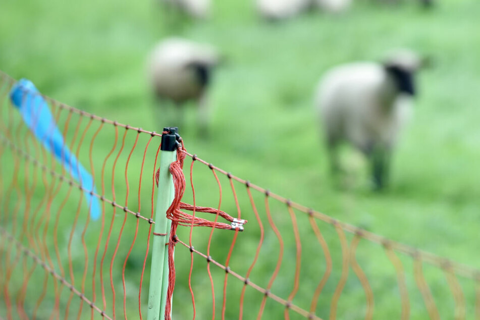 Elektrozäune sollen Schafe und andere Nutztiere vor Wölfen schützen. Allerdings bieten auch diese keinen hundertprozentigen Schutz.