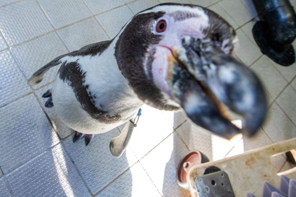 Bislang ist über das Gehör von Pinguinen wenig bekannt.