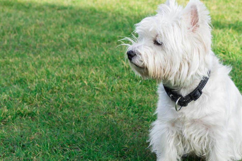 Der West Highland Terrier musste umgehend in die Tierklinik und wurde operiert (Symbolbild).