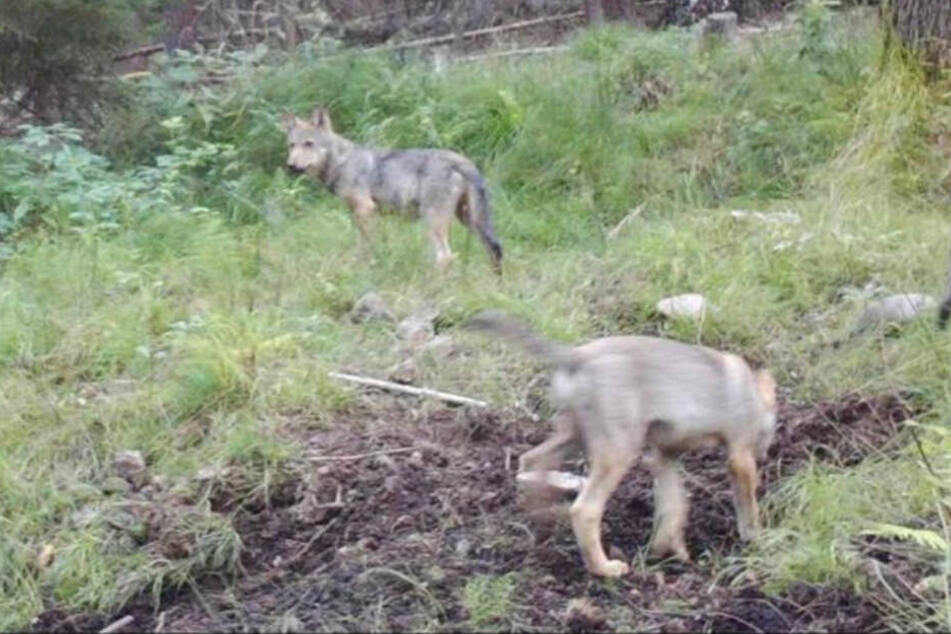 Wölfe tappen in Dresdner Heide in Fotofalle: Auf dieses Bild haben alle gewartet