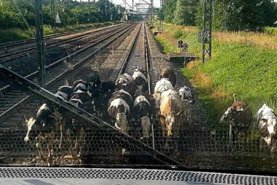 Eine Stunde Verspätung: Kuh-Herde stoppt ICE