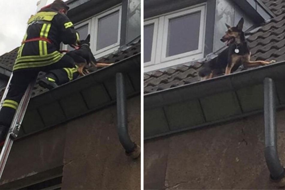 Verängstigter Schäferhund von Feuerwehr aus Dachrinne gerettet