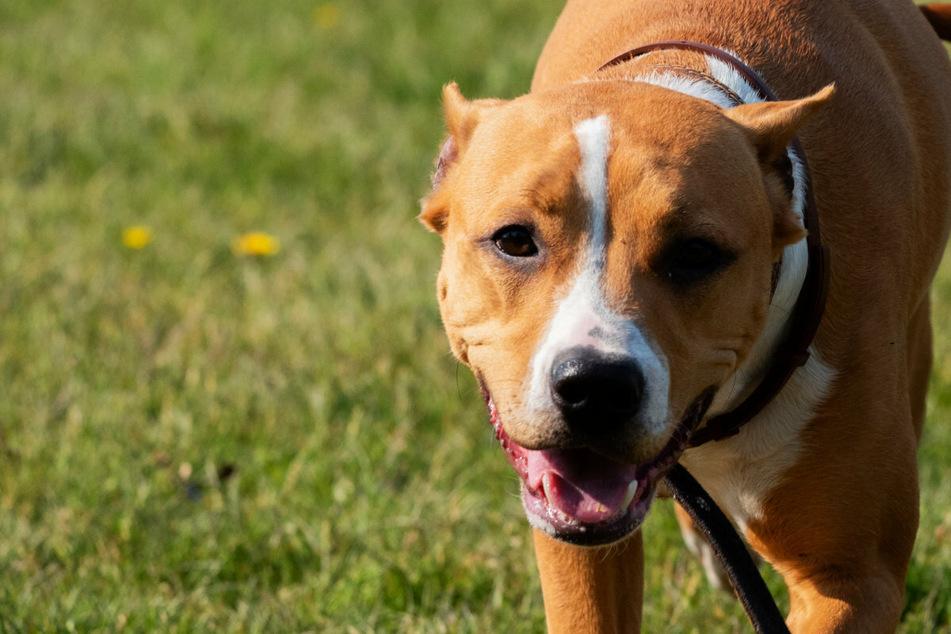Erzgebirge: Hund attackiert Frau und verletzt sie, Halterin haut ab