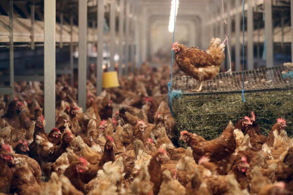 Im Futter der Hennen befanden sich giftige Lacksplitter. (Symbolbild)