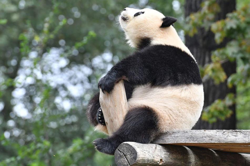 Eine Sex-Therapie könnte die Panda-Dame dazu bringen, mit dem Rückwärtsgang aufzuhören.
