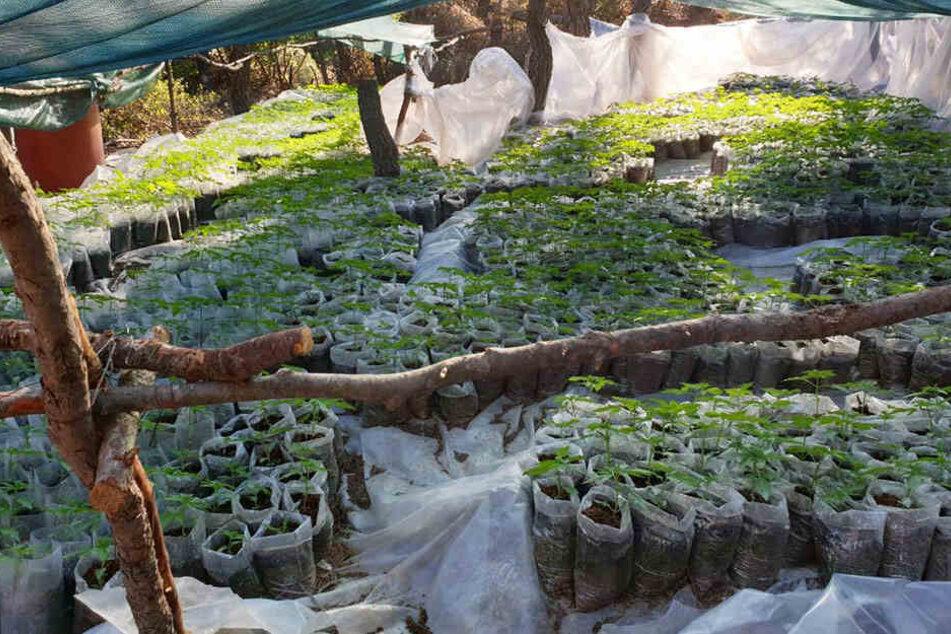 Diese Plantage mit über 13.000 Pflanzen haben Drogenfahnder in Griechenland entdeckt.