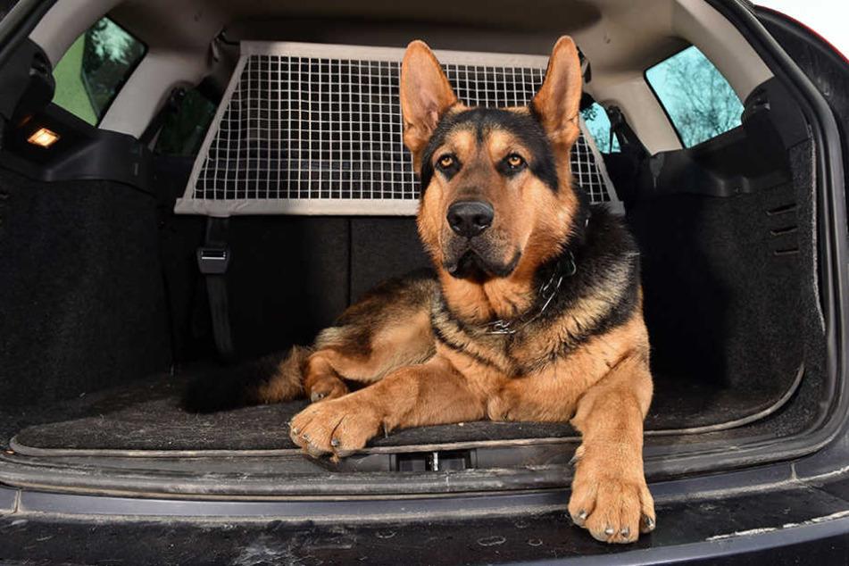 Als der Autodieb in den Wagen einsteigen wollte, machte sich Schäferhund Henry bemerkbar.
