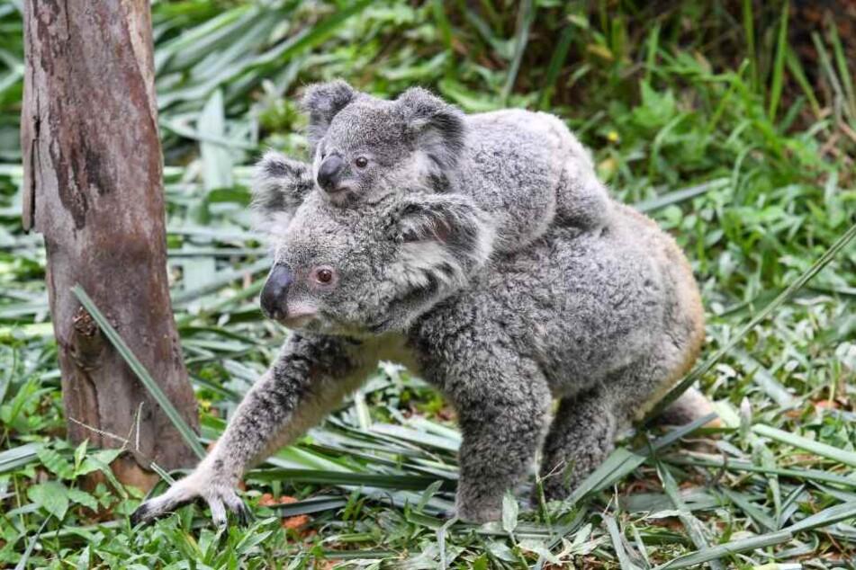 Hunderte Koalas sind vermutlich bei lebendigen Leibe verbrannt. (Symbolbild)
