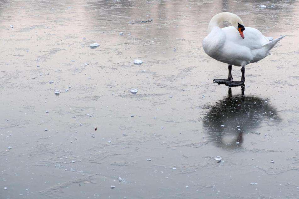 So ein Schwan auf dem Eis machte einem Schlossmitarbeiter arge Sorgen.