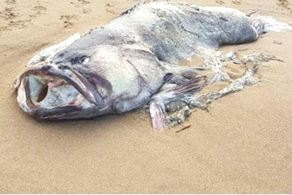 In Australien wurde dieser Fisch angeschwemmt.