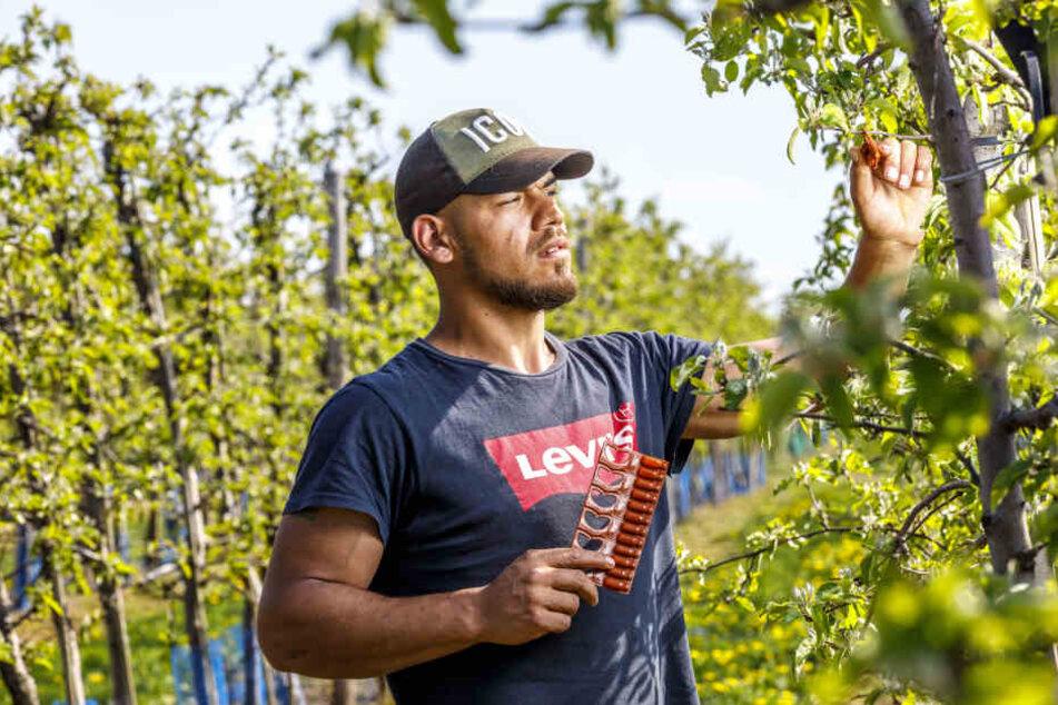 Saisonarbeiter Mario (24) hängt Pheromone zur Bekämpfung von Obstschädlingen auf.
