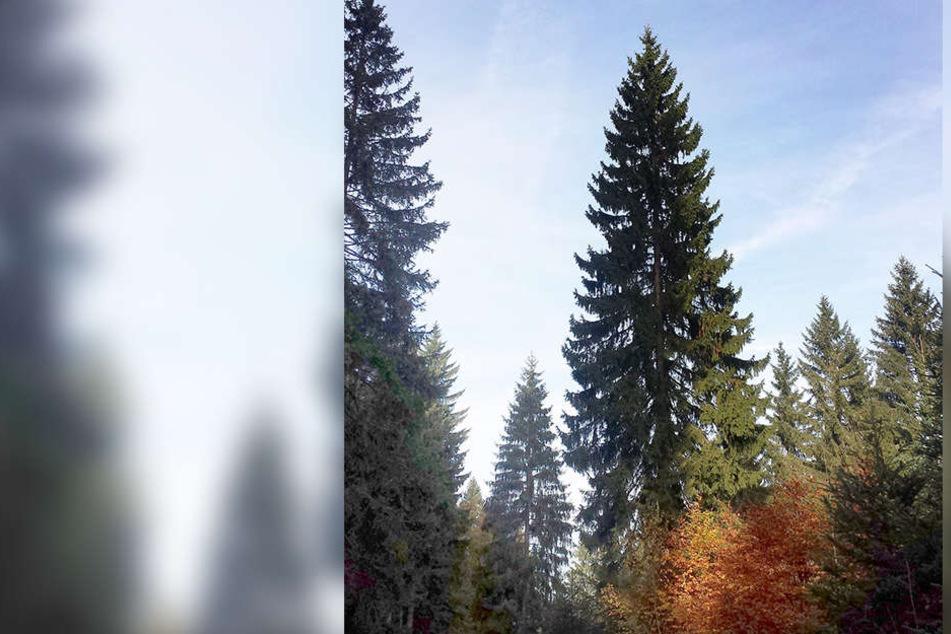 Stattliche 27 Meter ist der Baum für dem Weihnachtsmarkt hoch.