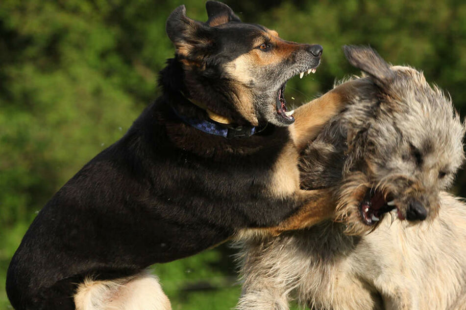 Wieviele Hunde das Mädchen (†6) genau angriffen, ist unklar (Symbolbild).