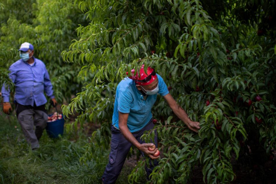 Spanien, Fraga: Bulgarische Saisonarbeiter ernten Nektarinen und tragen dabei Mundschutzmasken.