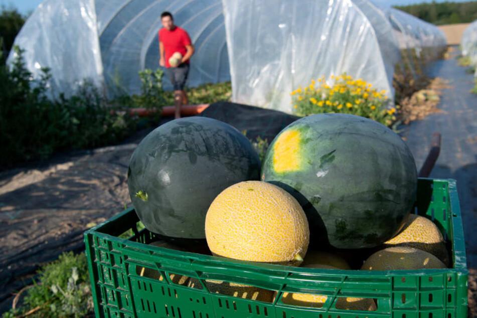 Seit drei Jahren baut Dittert in Bayern die exotischen Früchte an.