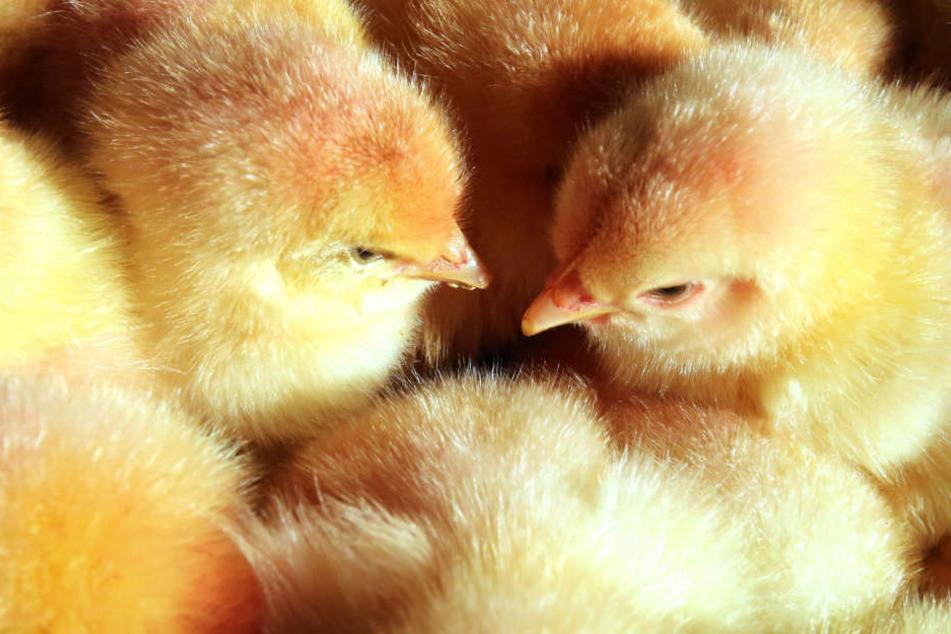 Weil sie zum Eierlegen nicht in der Lage kommen, werden viele männliche Küken nach dem Schlüpfen getötet. (Symbolbild)