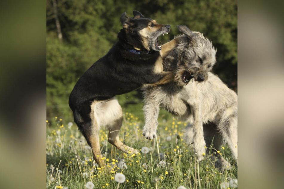 Für eines der beteiligten Tiere endete der Hundekampf tödlich. (Symbolbild)