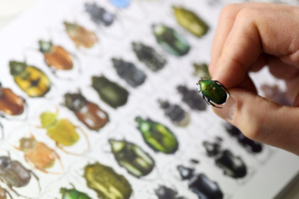 Ein Käfersammler hält einen aufgespießten Käfer in der Zoologischen Staatssammlung vor einem Katalog mit abgebildeten Käfern.