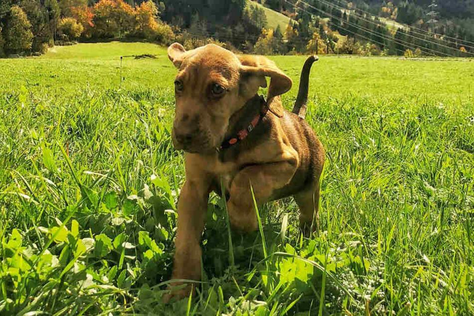 Schon mit neun Monaten begann Hündin Akira ihre Ausbildung zum Spürhund.