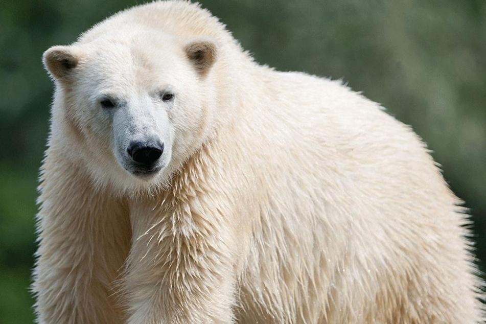 Vater der beiden Eisbärenbabys im Berliner Tierpark ist der fünfjährige Wolodja.