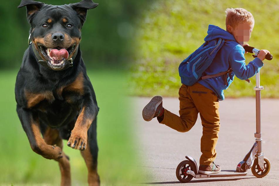 Der Rottweiler biss dem Siebenjährigen so stark in die Beine, dass er noch immer im Krankenhaus liegt. (Symbolbild)