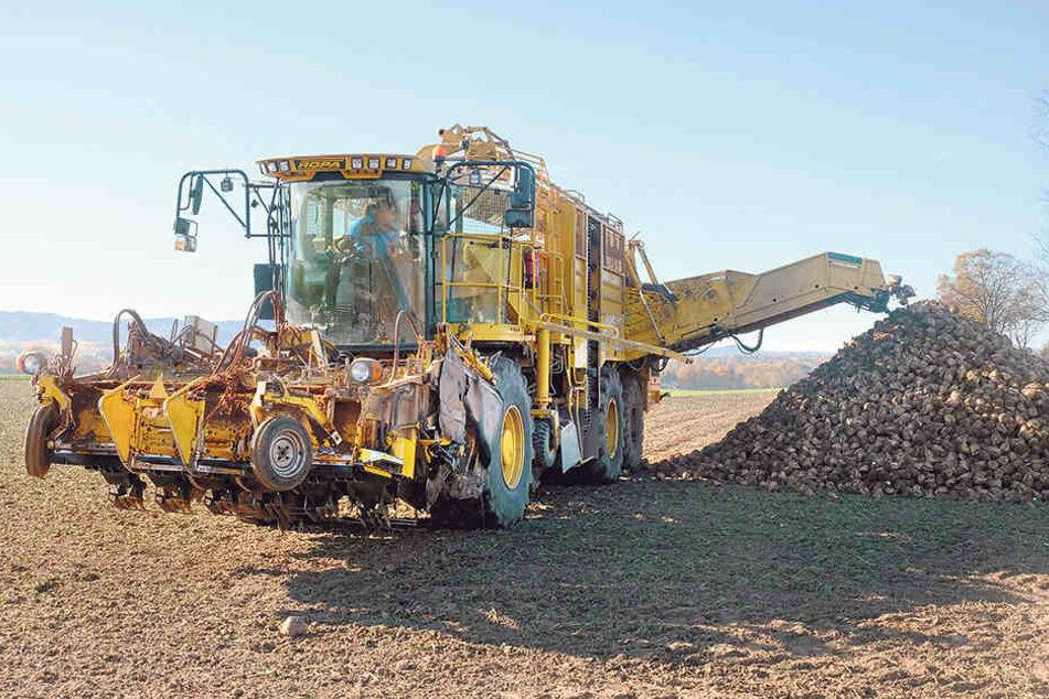 Große Erntemaschinen kommen heute auf den Feldern zum Einsatz, wenn die Zuckerrüben eingeholt werden.