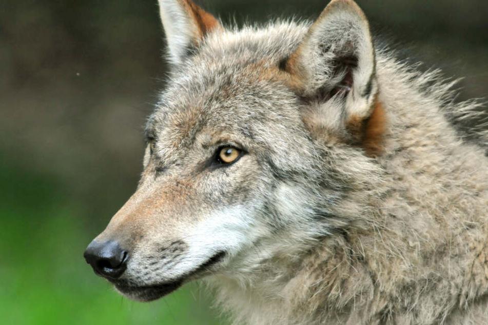 Der Schutz von Weidetieren vor Wölfen ist in Bayern ein großes und wichtiges Thema.