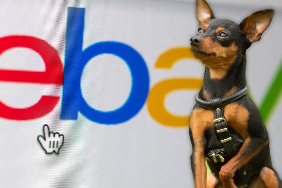 Mann bietet Hundewelpen auf eBay zum Verkauf an, doch etwas ist gewaltig faul