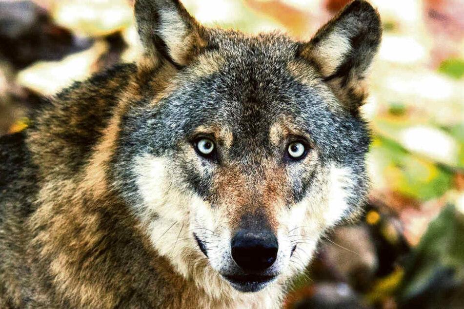 Meier ist gegen den Wolfsabschuss - sie möchte lieber Schäfer unterstützen.
