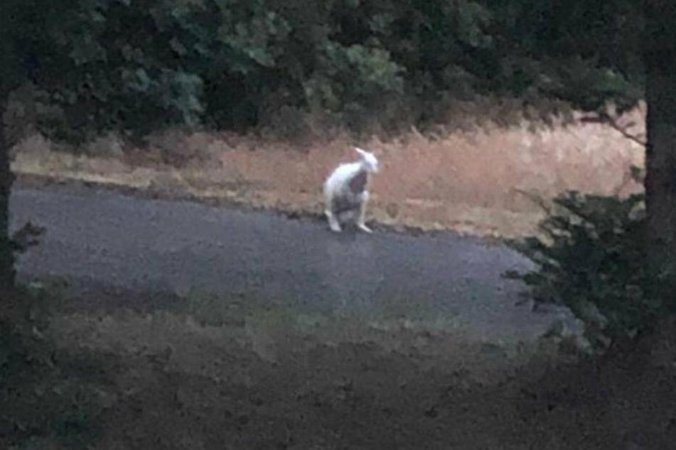 Nach fast drei Wochen: Ausgebüxtes weißes Känguru geschnappt!