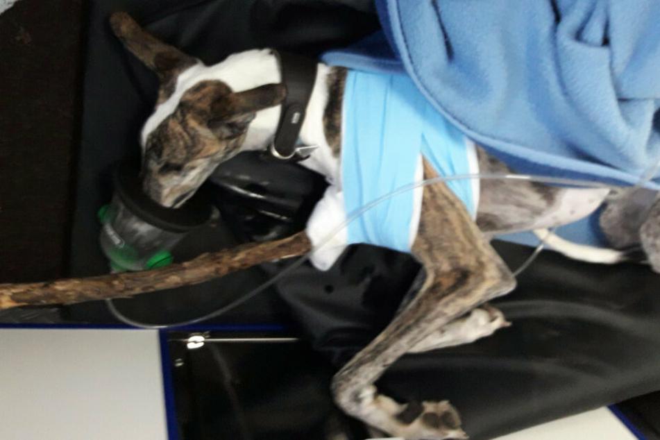 Windhund Felix hatte sich einen Ast in den Brustkorb gerammt.