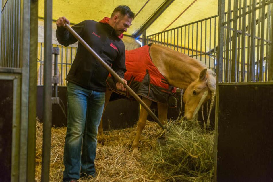 Marek lockert in der Pferdebox bei seinem andalusischen Hengst das Heu auf.
