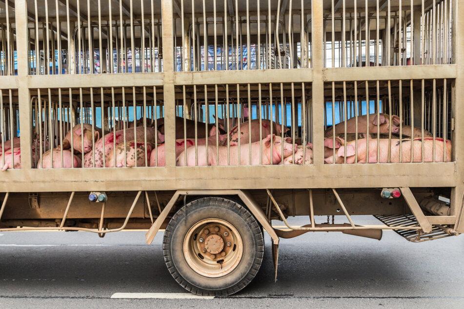 Deutschlands größte Tierrechtsorganisation PETA fordert ein generelles Verbot von kommerziellen Tiertransporten.