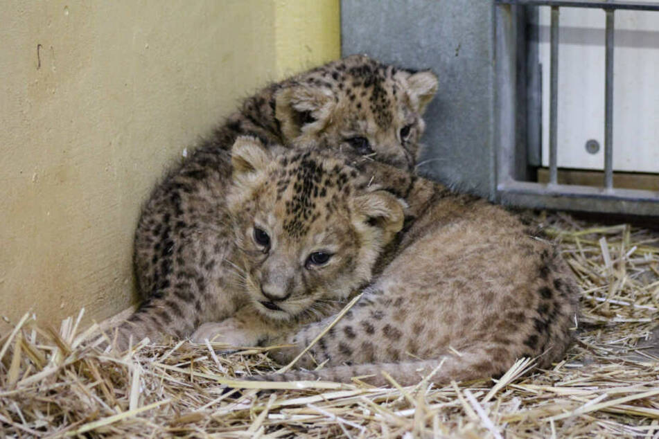 Noch werden die Löwenkinder von den Besuchern fern gehalten.