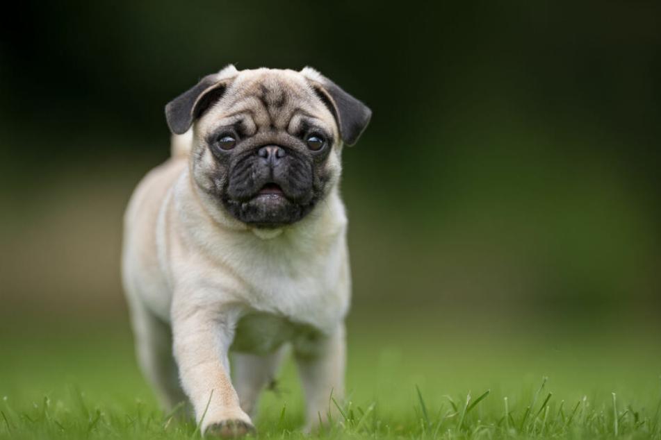 Ein Hundezüchter ist mit einer ungewöhnlichen Angelegenheit vor Gericht gezogen und gescheitert. (Symbolbild)