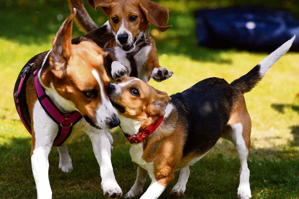 """Dieses Foto stammt von einem Laborbeagle-Treffen. Alle Tiere waren in ihrem """"ersten Leben"""" Versuchs-Tiere."""