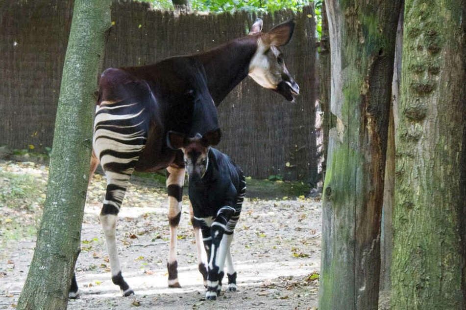 Fast zwei Monate dauerte es bis sich Okapi-Nachwuchs Kala ins Außengehege traute.