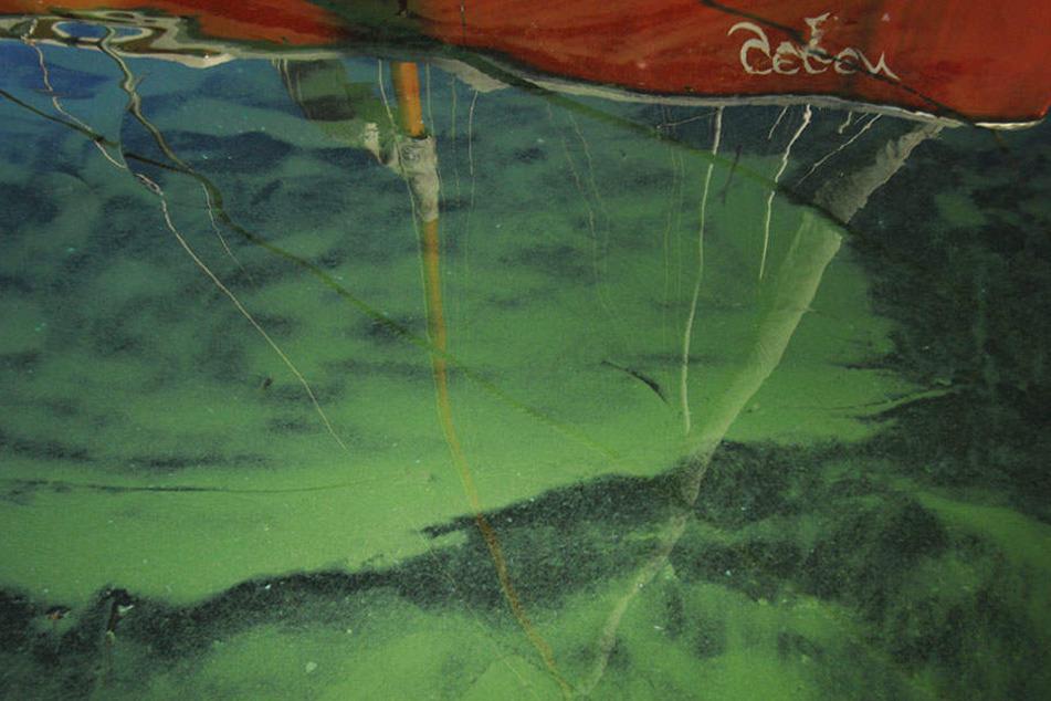 Wie kommt die subtropische Blaualge in den Tegeler See? Wissenschaftler geben der Klimaerwähnung und Hochwasser erleichtern die Ausbreitung in andere Gewässer.