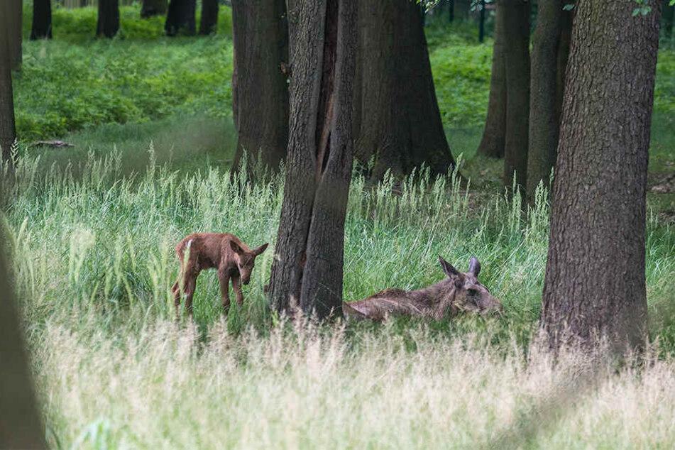Das Wildgehege Moritzburg freute sich im letzten Sommer über Nachwuchs, doch die Freude währte nicht lange.