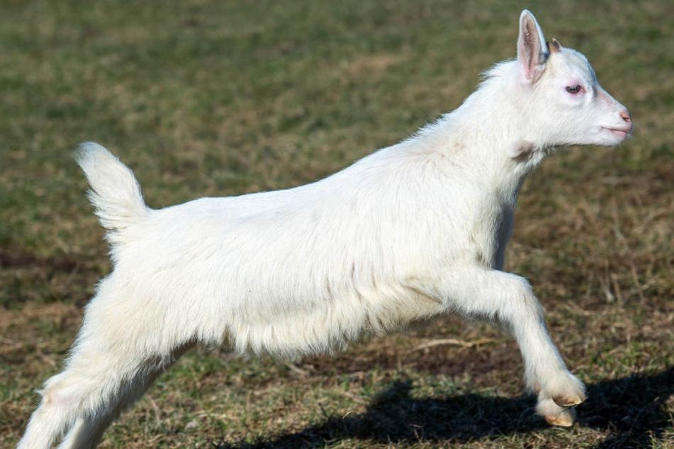 Vor wenigen Wochen wurde in der Neuköllner Hasenheide eine Ziege im Streichelzoo geschlachtet. (Symbolbild)