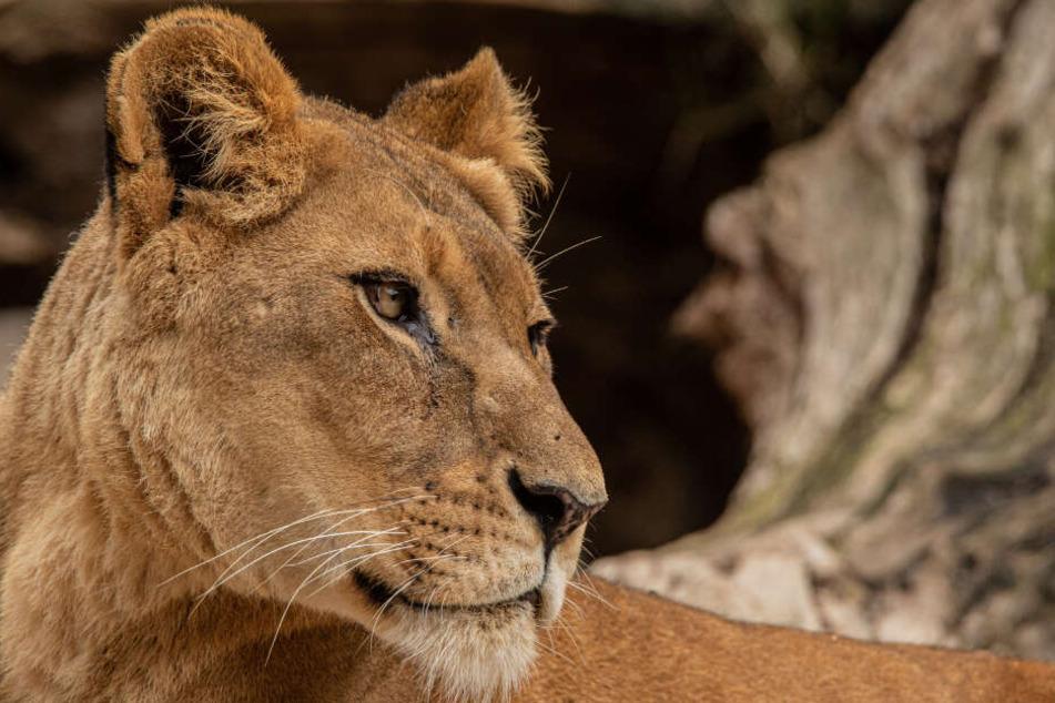 Löwin Carbora ist im Alter von 16 Jahren verstorben.